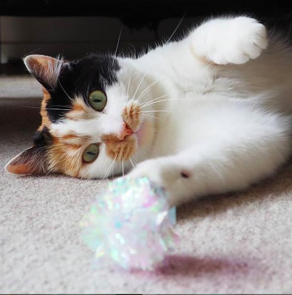miss_coco_calico de leukste instagram katten om te volgen catmom.l