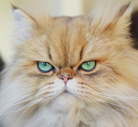 linc_thecat katten om te volgen op insta instagram katten
